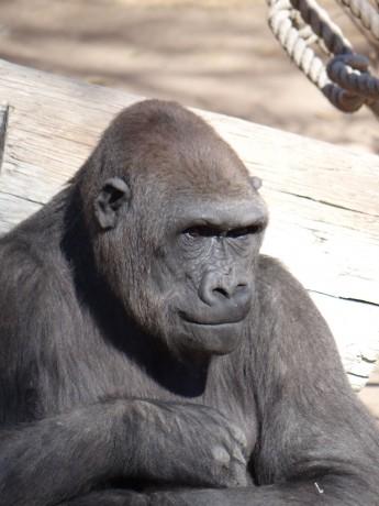Gorilla portrait - ABQ Biopark - 20 Jan 13